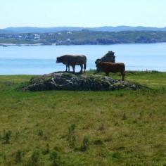 Des vaches sur un caillou