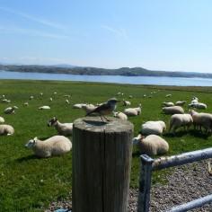 Moutons assommés par la chaleur !