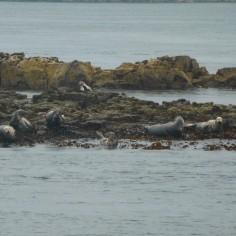 Des phoques (au zoom !)