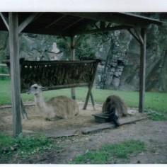 Lamas en pleine dépression.