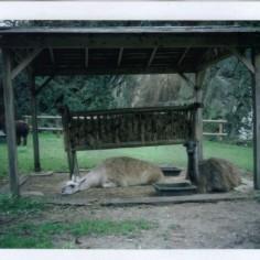 Lamas encore plus déprimés.