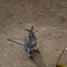 Un kangourou qui fait la manche..