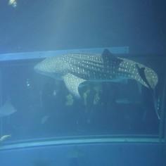 Un requin baleine..