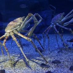 Un crabe géant !