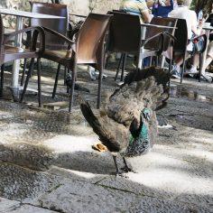 Vade retro pigeonnas !