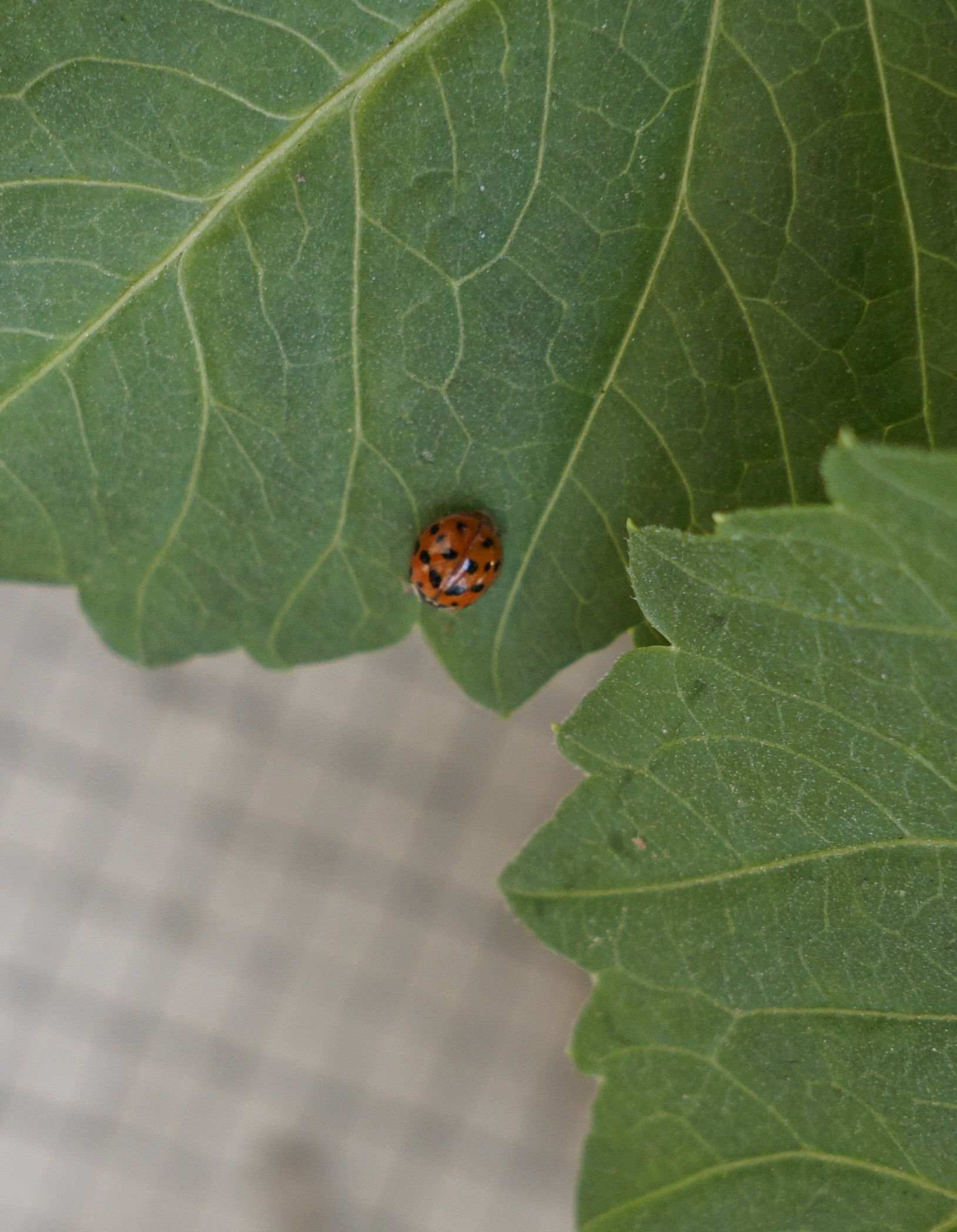 Coccinoise